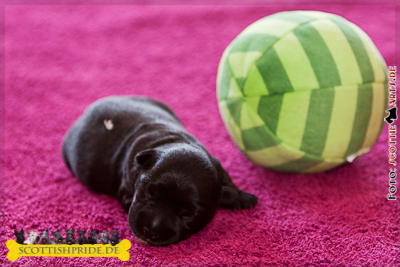Scottish Terrier Welpe 3