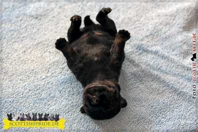 Scottish Terrier Welpe 5