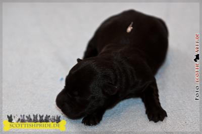 Scottish Terrier Welpe 2: Hündin schwarz
