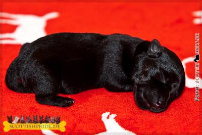 Scottie Welpe 5: Rüde schwarz