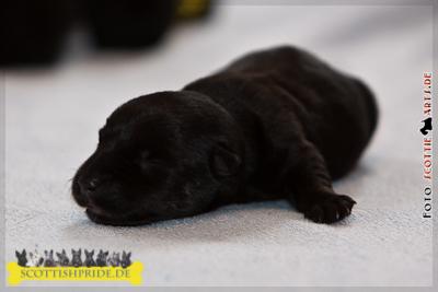 Scottish Terrier Welpe 5: Rüde schwarz