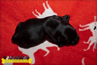 Scottish Terrier Welpe 1: Rüde