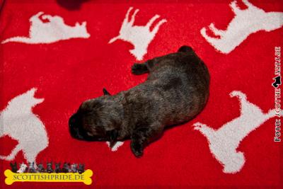 Scottish Terrier Welpe 3: Rüde